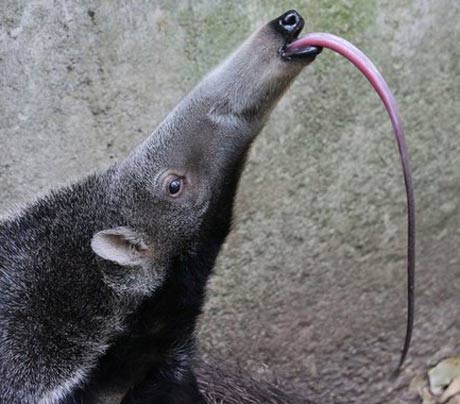 giant-anteater-tongue