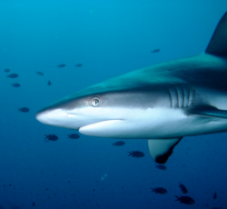 Although the Great White Shark (shown above) has not changed its migratory pattern due to El Nino, other shark species have been following their prey and moving closer to the California coastlines.
