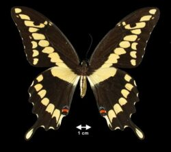 The giant swallowtail butterfly has a wingspan measuring 4 – 6.25 centimeters.