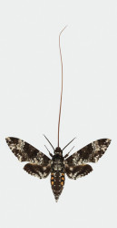 Shown here is the giant sphinx moth with a fully extended proboscis, or tongue.