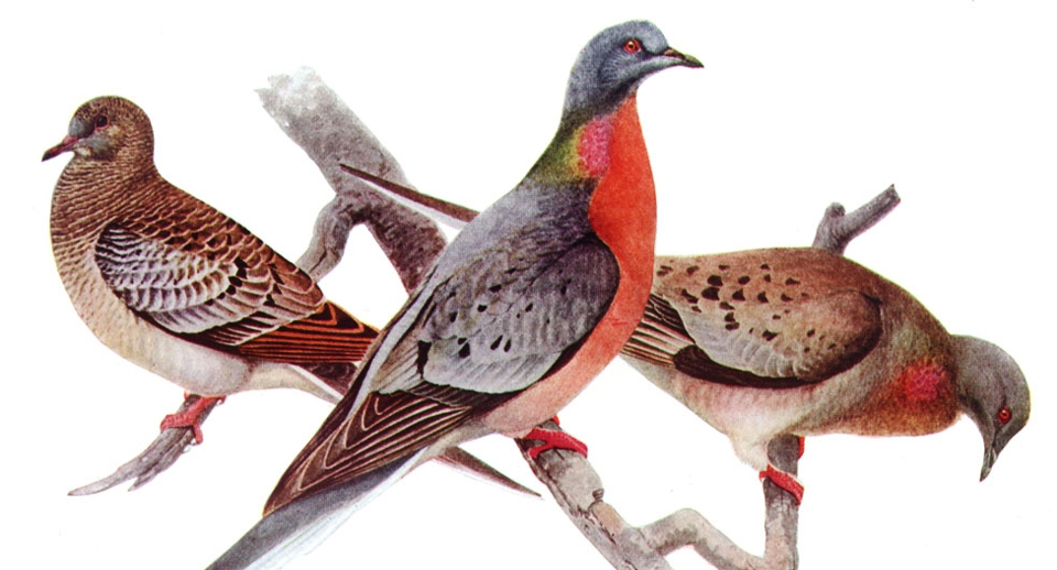 While woolly mammoths are unlikely to be brought back due to their large size and missing DNA, a more realistic option is the extinct passenger pigeon. Courtesy of abcbirds.org